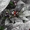 Black Pearl Plant